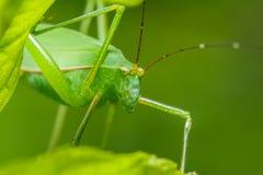 Strange grasshopper Stock Images