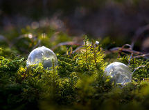 Strange Growth. Two frozen soap bubbles with icy patterns in a bed of green moss in early sunlight Stock Photography