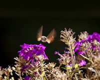 Strange insect, Macroglossum stellatarum feeding on flowers Royalty Free Stock Photo