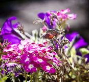 Strange insect, Macroglossum stellatarum feeding on flowers Stock Image