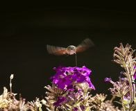Strange insect, Macroglossum stellatarum feeding on flowers Stock Photo
