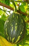 Strange Lagenaria siceraria. In thailand Royalty Free Stock Photo