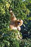 Strange looking furry monkey hanging in a tree Royalty Free Stock Photo