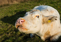 Strange-looking white cow from close Stock Image