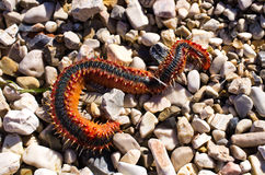 Strange marine worm on the beach Royalty Free Stock Photo