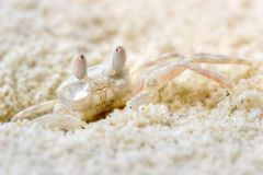 Strange mimetic crab Royalty Free Stock Photo