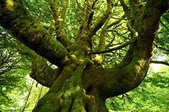 Strange Mossy Tree Royalty Free Stock Images