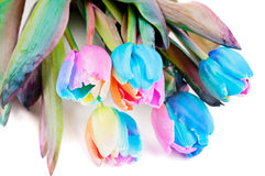 Strange multicolored tulips Stock Photo