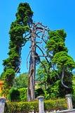 Strange pine tree in Gardone Riviera resort Italy royalty free stock photography
