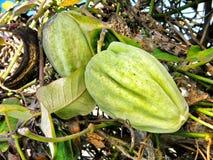 Strange plant fruit Stock Image