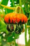 Strange pumpkin Stock Images