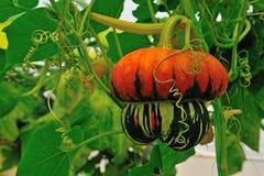 Strange pumpkin Stock Image