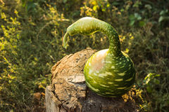 Strange pumpkin like snake Stock Photos
