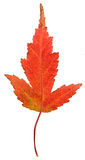Strange Red Maple Leaf Stock Photos