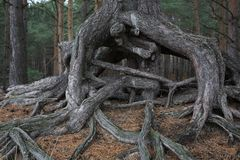 Strange roots of a tree royalty free stock images