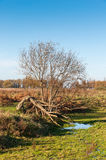 Strange shaped tree in autumn Royalty Free Stock Photos
