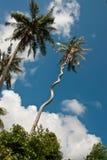 Strange spiral coconut tree. Nice blue sky stock image