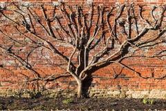 Strange Tree. The tree and the wall Royalty Free Stock Photos