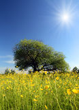 Strange tree and buttercups. Landscape with strange tree on buttercups meadow Stock Image