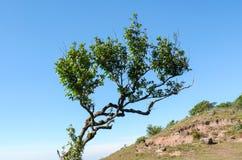 Strange tree. On Mountain background national park Royalty Free Stock Photography