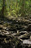 Strange tree roots in the tropical forest Royalty Free Stock Photo