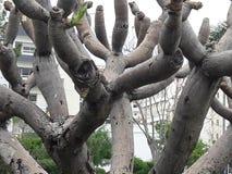 Strange tree. Un old strange  tree en tangier city Stock Images
