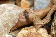 Strange tropical cicada. Tropical cicada with long tail royalty free stock photo
