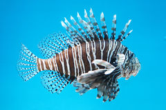 Strange tropical fish Royalty Free Stock Image