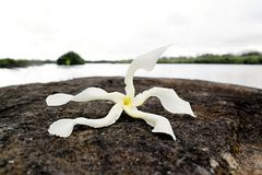 Strange Tropical Flower on a lava Stock Photos