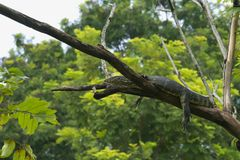 A strange, unusual and somewhat alarming sight of a large monitor lizard, high up in a tree. royalty free stock photo