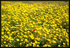 Strange among us. Field of yellow flowers and one red Royalty Free Stock Photos