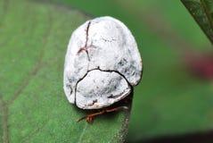Strange White Beetle Stock Image