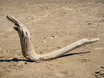 A strange wooden snag in the form of a snake lies on the sandy beach of the Ob Sea stock images