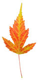 Strange Yellow Maple Leaf Royalty Free Stock Photo