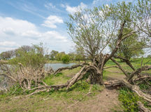 Strangely grown tree on the bank of a small lake Stock Photography