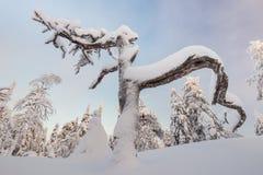 Strangely shaped dead tree. Snow covered dead pine tree of a strange shape in Vuokatti, Finland Stock Photo