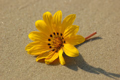 Stranger on the beach. Yellow flower on sand Stock Photos