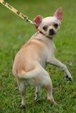 Stranggled Hund Lizenzfreie Stockbilder