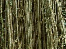 Strangle fig. Strangler Fig, Curtain Fig, Atherton Tablelands, Queensland, Australia Stock Photos