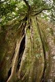 Strangler-Feige-Baum lizenzfreies stockbild