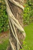 Strangler-Feige-Wurzeln schnüren einen Zypresse-Baum ein Lizenzfreies Stockbild