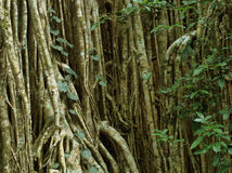 Free Strangler Fig Stock Image - 28489471