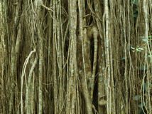 Strangler fig. Curtain Fig, Atherton Tablelands, Queensland, Australia royalty free stock photos