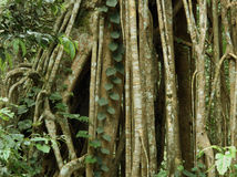 Free Strangler Fig Stock Image - 28489511