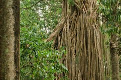Free Strangler Fig Royalty Free Stock Photos - 28490318