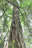 Strangler Fig. A fig wraps itself round a tree in the Big Cyprus Nature Reserve in Florida, USA. Close to the Tamiami Trail Royalty Free Stock Photography