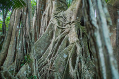 Strangler Fig with carvings Stock Photos