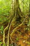 Strangler Fig, Costa Rica Stock Photos