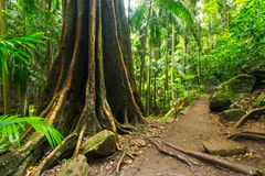 A strangler fig in the Tamborine National Park in the Gold Coast Hinterland royalty free stock photo