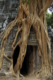 Strangler fig on temple entrance door Stock Photos